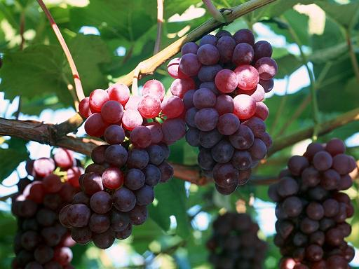 Post image for Resveratrol (grape extract) shown to suppresses inflammation, free radicals in humans